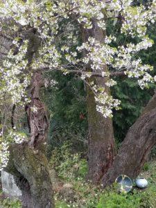 大島桜満開