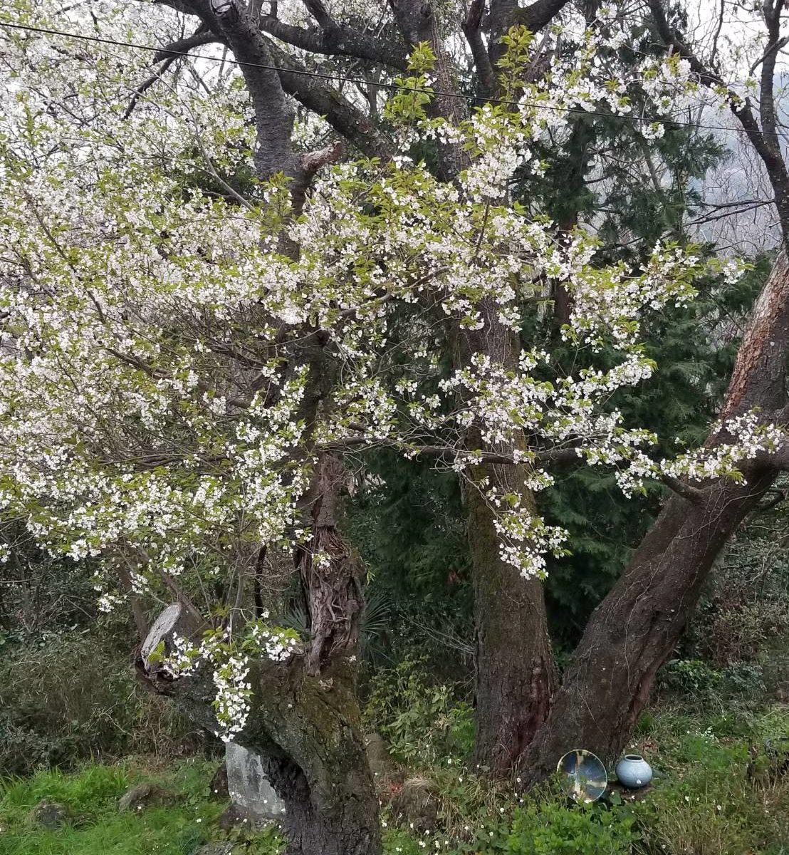 大島桜2788